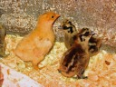 "2 partridge silkie bantams and a buff ""something"""