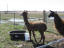Riptide on left and Nino the guard llama