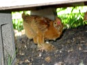 one of the little chicks staying cool under the coop